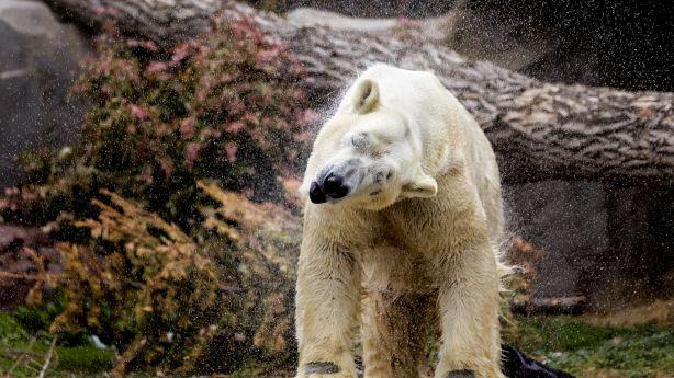 Nikita the polar bear makes his debut at Utah's Hogle Zoo