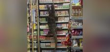 Have You Seen This? Giant lizard climbs shelves at 7-Eleven