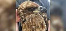 Utah conservation officers want to know who shot bald eagle in Summit County