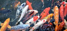 A fishy invasion: Koi fish, smallmouth bass infest local reservoirs and ponds in southern Utah