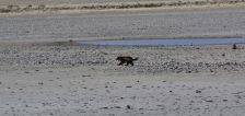 'Very rare' wolverine sighting confirmed at Antelope Island