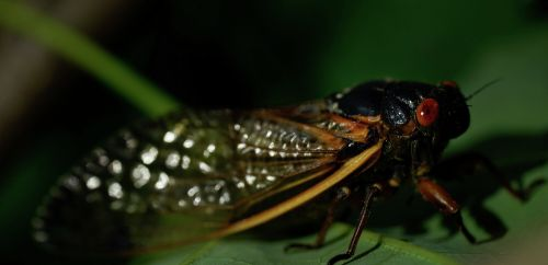 Cicadas hit snooze on their 17-year alarm clock. But they are still coming
