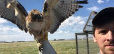 Hill Air Force Base safely captures, relocates predatory birds to prevent collisions