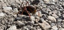 Forget swarms of cicadas. Millions of Mormon crickets are marching in the Idaho desert