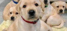Puppies are born already knowing how to love us, study suggests