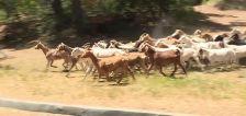 Goats clear vegetation as fire season begins