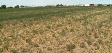 Drought forces farmers to abandon fields of dry crops