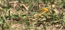 Grasshopper invasion adding to plight of Utah farmers