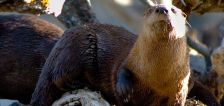 Otterly delightful: Spot a river otter in Utah? DWR wants to know
