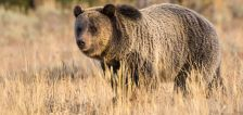 Grizzly bear chases mountain biker near area of previous attack in Idaho