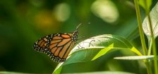 Salt Lake made a park friendly for struggling monarch butterfly — here's how you can, too