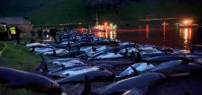 1,400 dolphins were killed in the Faroe Islands in one day, shocking even some pro-whalers