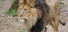 Lions, tigers and COVID, Oh My! Animals test presumptive positive for virus