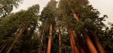 California's giant sequoias remain safe from growing wildfire