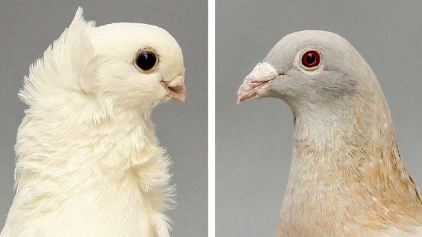 Cercetătorii din Statele Unite spun că au spart misterul porumbelului lui Darwin - Obiectiv Jurnalul de Tulcea - Citeste ce vrei sa afli