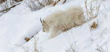 Why rangers call on volunteers to hunt mountain goats at Grand Teton National Park