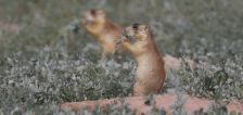 Court denies effort by state, county officials to weigh in on prairie dog lawsuit
