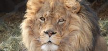 4 of Hogle Zoo's African lions test positive with COVID-19